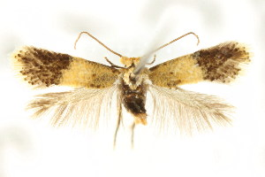 (Pectinivalva sp. ANIC59 - CCDB-15829-A01)  @11 [ ] CreativeCommons - Attribution Non-Commercial Share-Alike (2011) CSIRO/BIO Photography Group Centre for Biodiversity Genomics