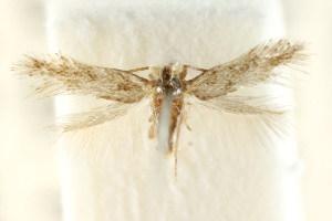 (Pectinivalva sp. ANIC64 - CCDB-15829-B03)  @11 [ ] CreativeCommons - Attribution Non-Commercial Share-Alike (2011) CSIRO/BIO Photography Group Centre for Biodiversity Genomics