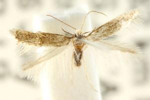 (Pectinivalva sp. ANIC68 - CCDB-15829-C03)  @11 [ ] CreativeCommons - Attribution Non-Commercial Share-Alike (2011) CSIRO/BIO Photography Group Centre for Biodiversity Genomics