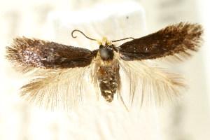 (Stigmella sp. ANIC2 - CCDB-15829-E09)  @11 [ ] CreativeCommons - Attribution Non-Commercial Share-Alike (2011) CSIRO/BIO Photography Group Centre for Biodiversity Genomics