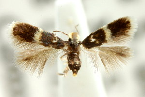 (Stigmella sp. ANIC12 - CCDB-15829-H02)  @11 [ ] CreativeCommons - Attribution Non-Commercial Share-Alike (2011) CSIRO/BIO Photography Group Centre for Biodiversity Genomics