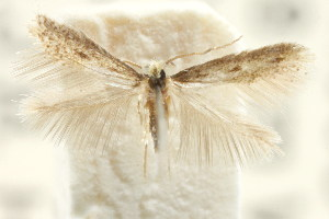 (Stigmella sp. ANIC15 - CCDB-15829-H10)  @11 [ ] CreativeCommons - Attribution Non-Commercial Share-Alike (2011) CSIRO/BIO Photography Group Centre for Biodiversity Genomics