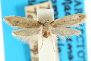 (Macronemata omospila - CCDB-15830-G11)  @11 [ ] CreativeCommons - Attribution Non-Commercial Share-Alike (2011) CSIRO/BIO Photography Group Centre for Biodiversity Genomics