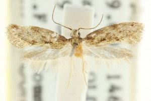 (Dysthrenata - CCDB-15837-F07)  @11 [ ] CreativeCommons - Attribution Non-Commercial Share-Alike (2011) CSIRO/BIO Photography Group Centre for Biodiversity Genomics