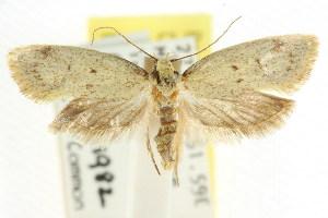 (Scoliocheta ergatis - CCDB-15837-F12)  @14 [ ] CreativeCommons - Attribution Non-Commercial Share-Alike (2011) CSIRO/BIO Photography Group Centre for Biodiversity Genomics