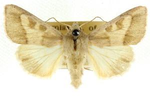 (Adisura - CCDB-15842-C10)  @15 [ ] CreativeCommons - Attribution Non-Commercial Share-Alike (2011) CSIRO/BIO Photography Group Centre for Biodiversity Genomics