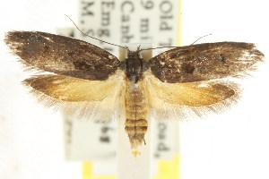 (Oenochroa ochrosoma - CCDB-15846-B10)  @14 [ ] CreativeCommons - Attribution Non-Commercial Share-Alike (2011) CSIRO/BIO Photography Group Centre for Biodiversity Genomics