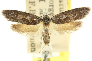 (Oenochroa molybdoptera - CCDB-15846-C09)  @11 [ ] CreativeCommons - Attribution Non-Commercial Share-Alike (2011) CSIRO/BIO Photography Group Centre for Biodiversity Genomics