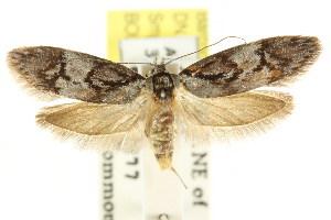 (Oenochroa dinosema - CCDB-15846-D03)  @15 [ ] CreativeCommons - Attribution Non-Commercial Share-Alike (2011) CSIRO/BIO Photography Group Centre for Biodiversity Genomics