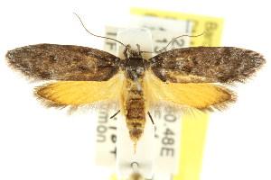 (Oenochroa sp. ANIC8 - CCDB-15846-E08)  @11 [ ] CreativeCommons - Attribution Non-Commercial Share-Alike (2011) CSIRO/BIO Photography Group Centre for Biodiversity Genomics