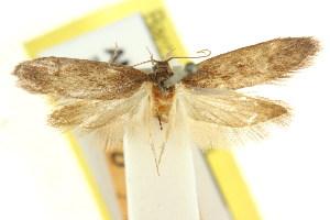 (Oenochroa dystena - CCDB-15846-H11)  @11 [ ] CreativeCommons - Attribution Non-Commercial Share-Alike (2011) CSIRO/BIO Photography Group Centre for Biodiversity Genomics
