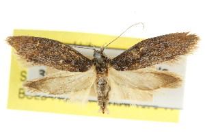 (Oenochroa dysmica - CCDB-15847-A01)  @11 [ ] CreativeCommons - Attribution Non-Commercial Share-Alike (2011) CSIRO/BIO Photography Group Centre for Biodiversity Genomics