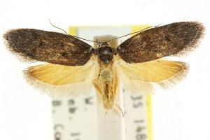 (Oenochroa suffulva - CCDB-15847-A11)  @11 [ ] CreativeCommons - Attribution Non-Commercial Share-Alike (2011) CSIRO/BIO Photography Group Centre for Biodiversity Genomics