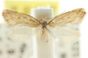 (Eulechria leptocneca - CCDB-15847-B11)  @11 [ ] CreativeCommons - Attribution Non-Commercial Share-Alike (2011) CSIRO/BIO Photography Group Centre for Biodiversity Genomics