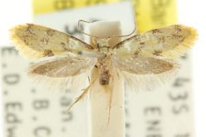 (Diaphanta dulcicula - CCDB-15847-E06)  @13 [ ] CreativeCommons - Attribution Non-Commercial Share-Alike (2011) CSIRO/BIO Photography Group Centre for Biodiversity Genomics
