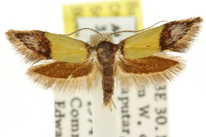 (Coesyra1 violacea - CCDB-15847-H01)  @11 [ ] CreativeCommons - Attribution Non-Commercial Share-Alike (2011) CSIRO/BIO Photography Group Centre for Biodiversity Genomics