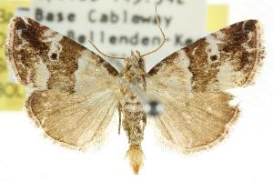 (Maliattha amorpha - CCDB-15848-F07)  @15 [ ] CreativeCommons - Attribution Non-Commercial Share-Alike (2011) CSIRO/BIO Photography Group Centre for Biodiversity Genomics