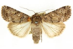 (Spodoptera umbraculata - CCDB-15853-C01)  @15 [ ] CreativeCommons - Attribution Non-Commercial Share-Alike (2011) CSIRO/BIO Photography Group Centre for Biodiversity Genomics