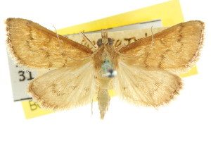 (Metasia ochrochoa - CCDB-15855-G10)  @11 [ ] CreativeCommons - Attribution Non-Commercial Share-Alike (2011) CSIRO/BIO Photography Group Centre for Biodiversity Genomics