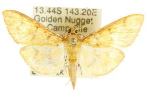 (Pleuroptya symphonodes - CCDB-15859-B07)  @13 [ ] CreativeCommons - Attribution Non-Commercial Share-Alike (2011) CSIRO/BIO Photography Group Centre for Biodiversity Genomics