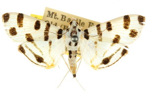 (Pycnarmon jaguaralis - CCDB-15859-D11)  @14 [ ] CreativeCommons - Attribution Non-Commercial Share-Alike (2011) CSIRO/BIO Photography Group Centre for Biodiversity Genomics
