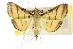 (Cnaphalocrocis medinalis - CCDB-15859-F01)  @15 [ ] CreativeCommons - Attribution Non-Commercial Share-Alike (2011) CSIRO/BIO Photography Group Centre for Biodiversity Genomics