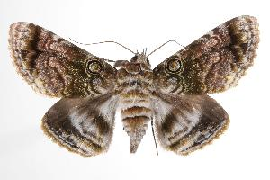 (Cyclodes - ANIC Gen No. 000538)  @15 [ ] Copyright (2010) Australia National Insect Collection Australia National Insect Collection