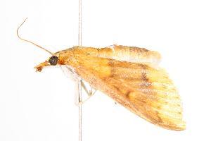 ( - ANIC Gen No. 000571)  @13 [ ] Copyright (2010) Australia National Insect Collection Australia National Insect Collection