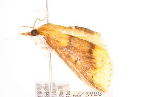 ( - ANIC Gen No. 000572)  @13 [ ] Copyright (2010) Australia National Insect Collection Australia National Insect Collection