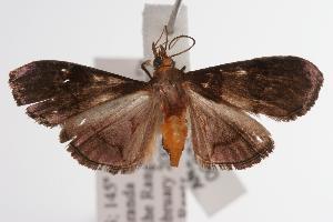 ( - ANIC Gen No. 000752)  @14 [ ] Copyright (2010) Australia National Insect Collection Australia National Insect Collection