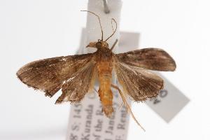 ( - ANIC Gen No. 000753)  @13 [ ] Copyright (2010) Australia National Insect Collection Australia National Insect Collection