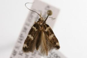 (Labdia sp. ANIC2 - ANIC Gen No. 000798)  @13 [ ] Copyright (2010) Australia National Insect Collection Australia National Insect Collection