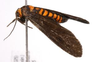 ( - ANIC Gen No. 000822)  @13 [ ] Copyright (2010) Australia National Insect Collection Australia National Insect Collection