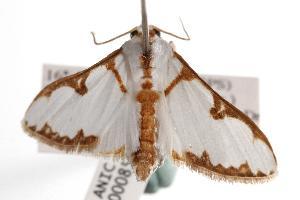 ( - ANIC Gen No. 000850)  @13 [ ] Copyright (2010) Australia National Insect Collection Australia National Insect Collection