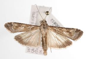 ( - ANIC Gen No. 000852)  @14 [ ] Copyright (2010) Australia National Insect Collection Australia National Insect Collection