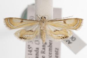 (Tetrernia - ANIC Gen No. 000871)  @14 [ ] Copyright (2010) Australia National Insect Collection Australia National Insect Collection