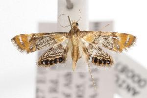 (Nymphicula - ANIC Gen No. 000875)  @14 [ ] Copyright (2010) Australia National Insect Collection Australia National Insect Collection