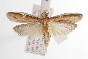(Emmalocera sp - ANIC Gen No. 000895)  @14 [ ] Copyright (2010) Australia National Insect Collection Australia National Insect Collection