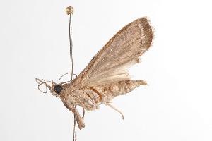 ( - ANIC Gen No. 000918)  @13 [ ] Copyright (2010) Australia National Insect Collection Australia National Insect Collection