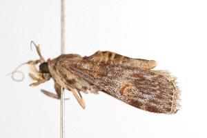 ( - ANIC Gen No. 000959)  @12 [ ] Copyright (2010) Australia National Insect Collection Australia National Insect Collection