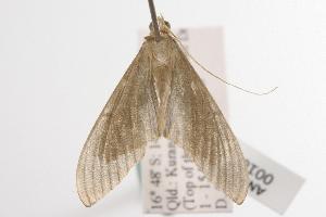 ( - ANIC Gen No. 001005)  @13 [ ] Copyright (2010) Australia National Insect Collection Australia National Insect Collection