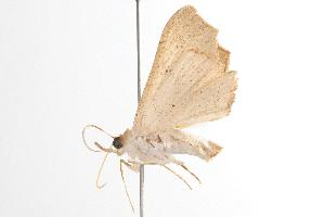 ( - ANIC Gen No. 001010)  @13 [ ] Copyright (2010) Australia National Insect Collection Australia National Insect Collection