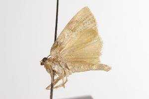 ( - ANIC Gen No. 001080)  @13 [ ] Copyright (2010) Australia National Insect Collection Australia National Insect Collection