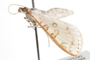 (Palpita rhodocosta - ANIC Gen No. 001082)  @13 [ ] Copyright (2010) Australia National Insect Collection Australia National Insect Collection