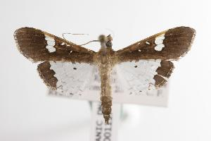 ( - ANIC Gen No. 001117)  @14 [ ] Copyright (2010) Australia National Insect Collection Australia National Insect Collection