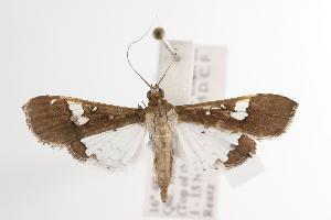 ( - ANIC Gen No. 001119)  @14 [ ] Copyright (2010) Australia National Insect Collection Australia National Insect Collection