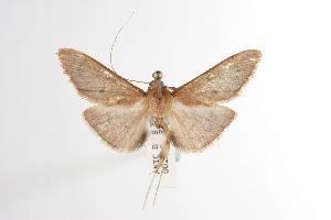 ( - ANIC Gen No. 001130)  @14 [ ] Copyright (2010) Australia National Insect Collection Australia National Insect Collection