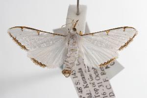 ( - ANIC Gen No. 001132)  @14 [ ] Copyright (2010) Australia National Insect Collection Australia National Insect Collection
