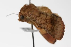 ( - ANIC Gen No. 000047)  @12 [ ] Copyright (2010) Australia National Insect Collection Australia National Insect Collection