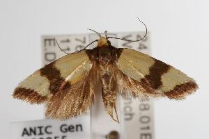 ( - ANIC Gen No. 000055)  @14 [ ] Copyright (2010) Australia National Insect Collection Australia National Insect Collection